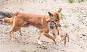 dingó mama és kölyke