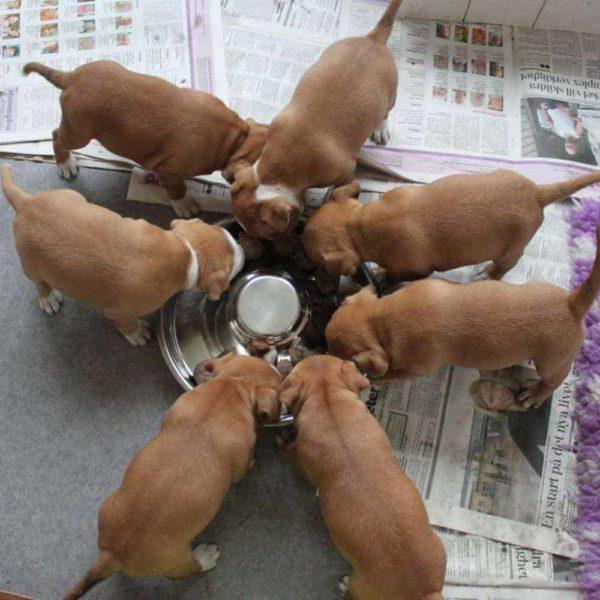 MUSH Vaisto Puppy Rénszarvas-Marha-Lazac