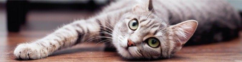 gyönyörű egészséges macska